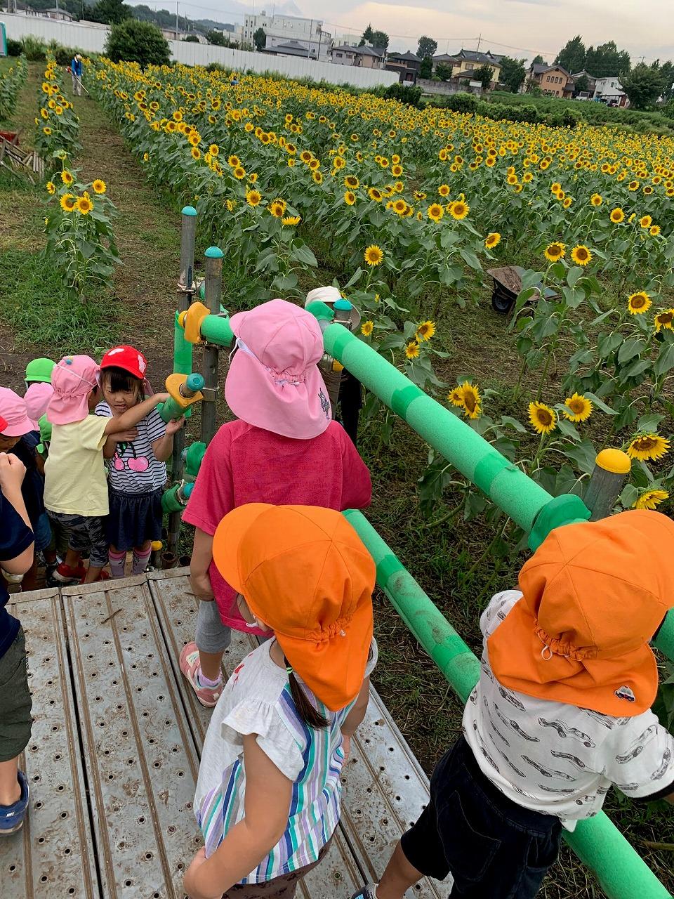 所沢市のあかねの虹保育園の子どもたちがお散歩でひまわり畑に行った時の写真