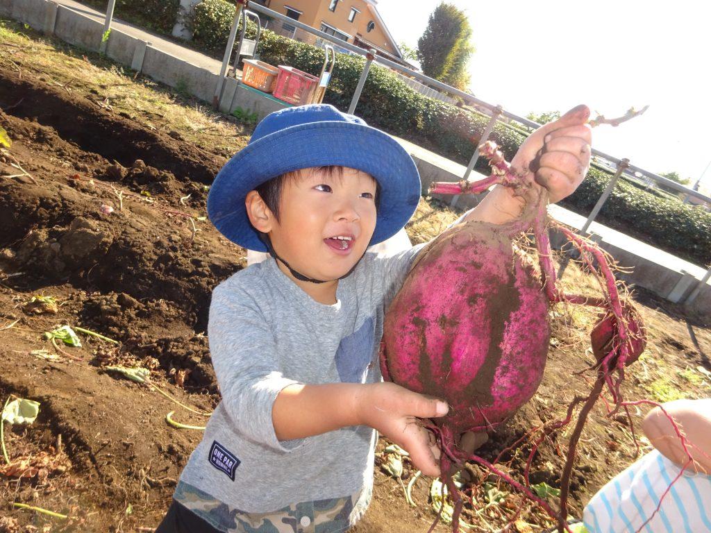 埼玉県所沢市にあるあかね保育園で幼児さんが苗を植えたお芋を掘っている画像
